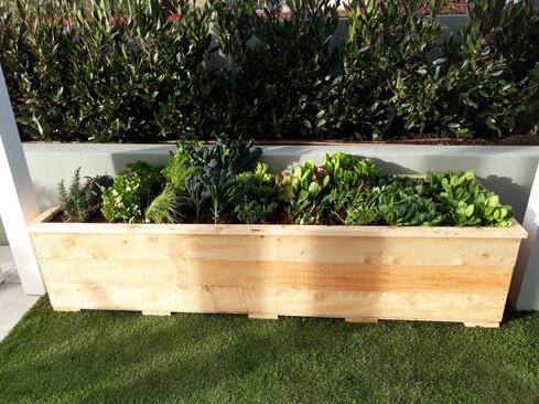 Macrocarpa economy large garden