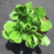 LettuceCos.jpg