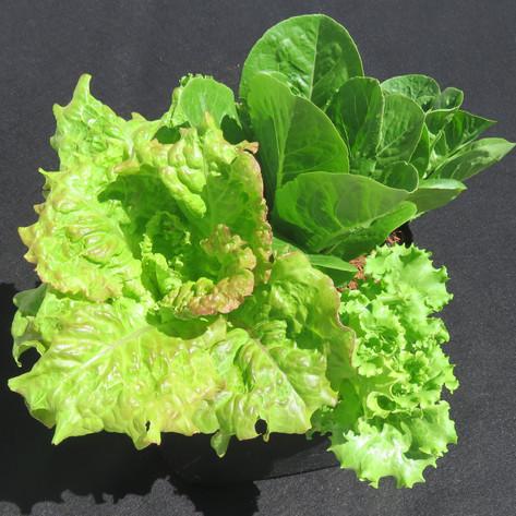 Mixed lettuce Swap a Bag