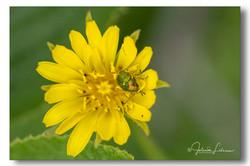 Cryptocephalus aureolus (bladkeversoort)