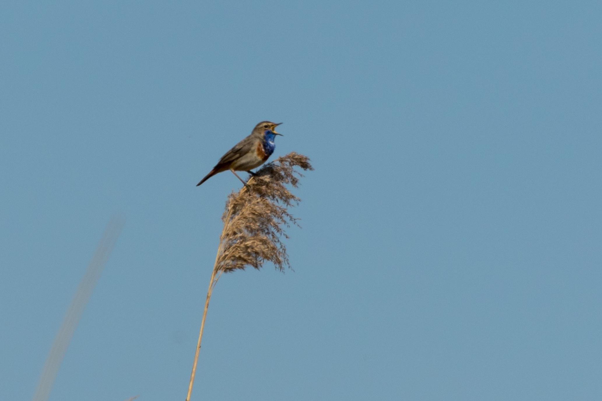 Blauwborst (male)