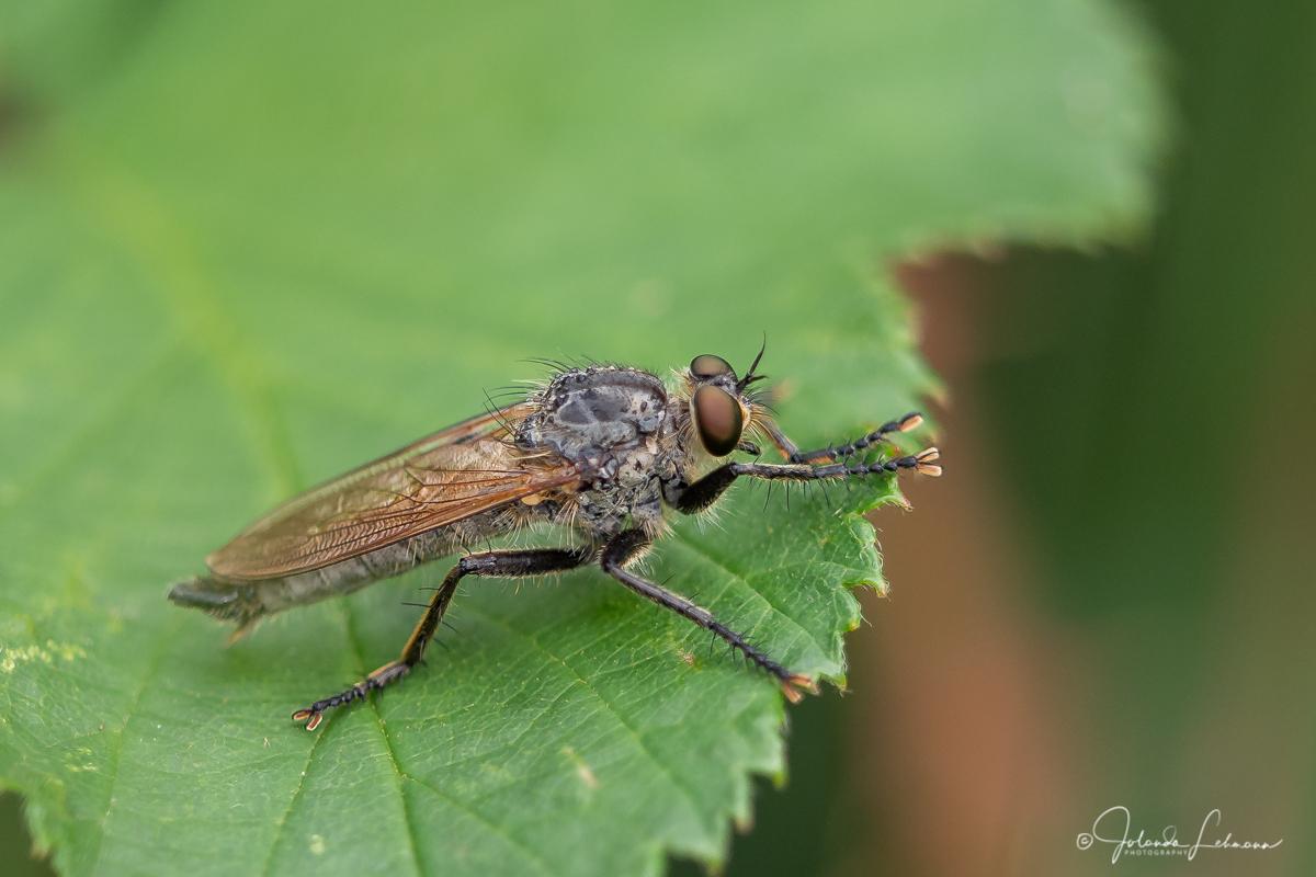 Roodbaardvlieg