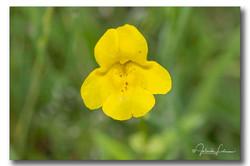 Gele Maskerbloem