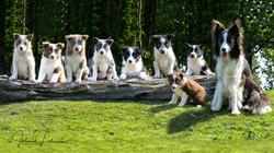 Puppyshoot Border Collie