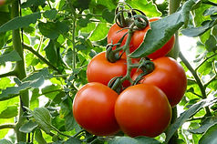 Tomatoes_in_a_greenhouse-1160x770.jpg