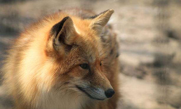 fox-721103_1920.jpg
