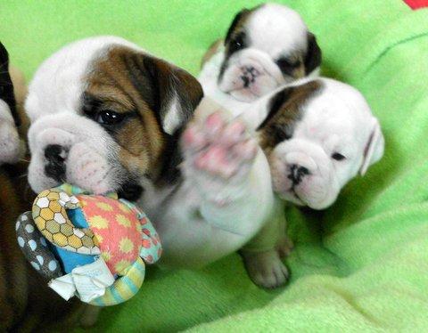 Tally bogie pups 5 weeks 7
