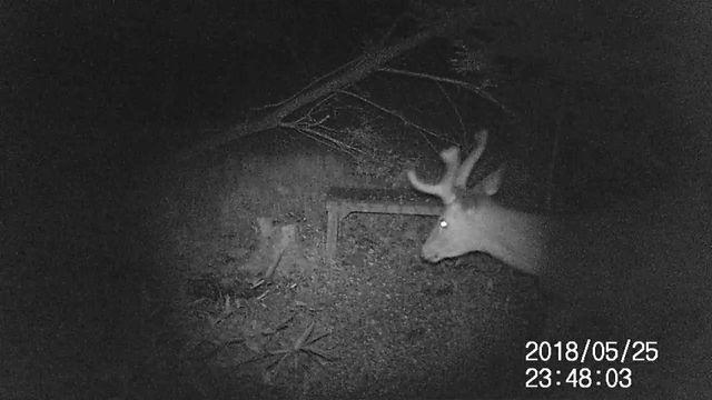 深夜の若い牡鹿