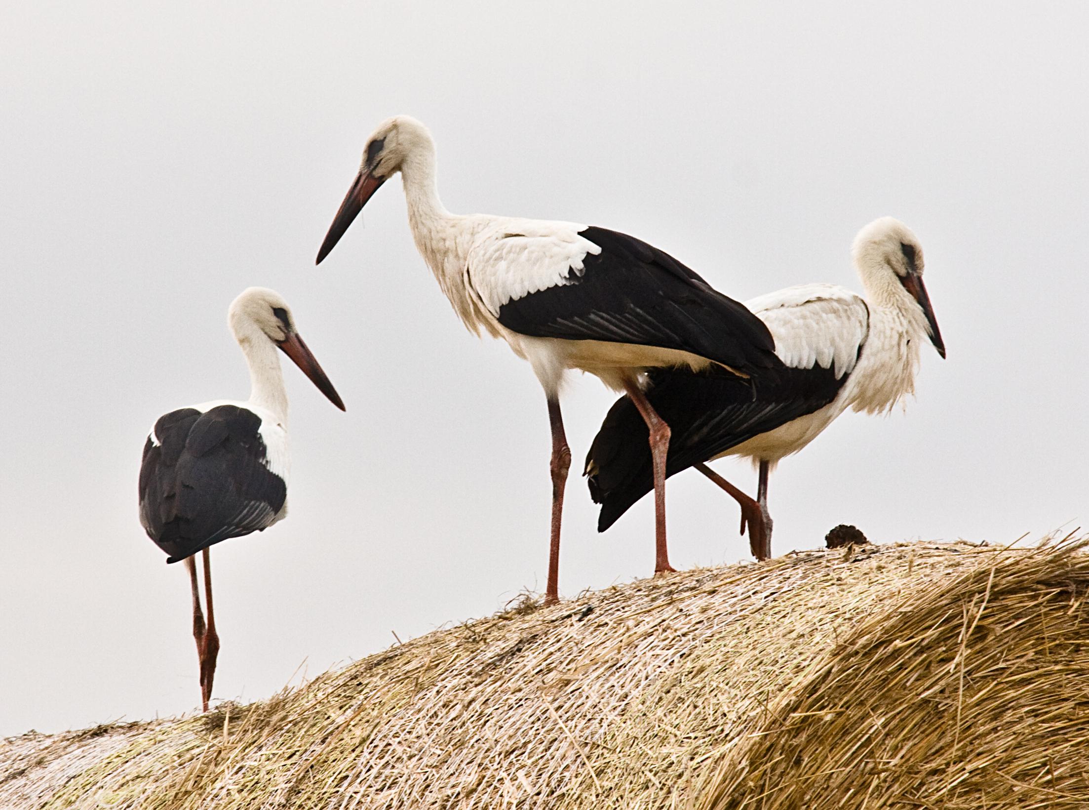 Storchfamilie