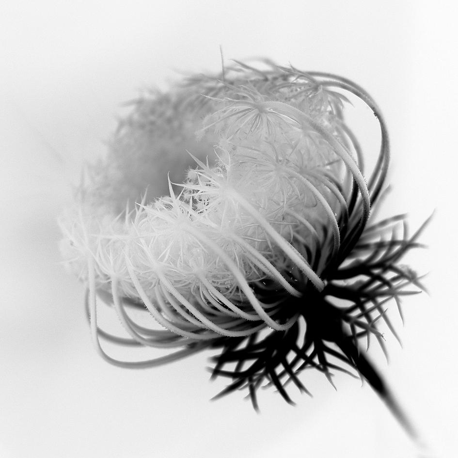 blossPro selinum Titel