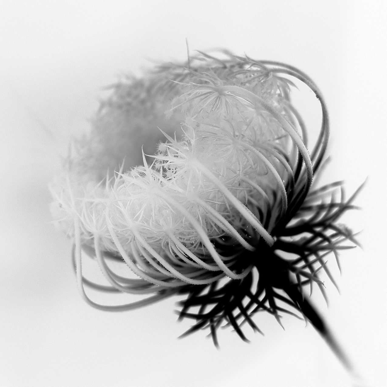 blossPro selinum 04