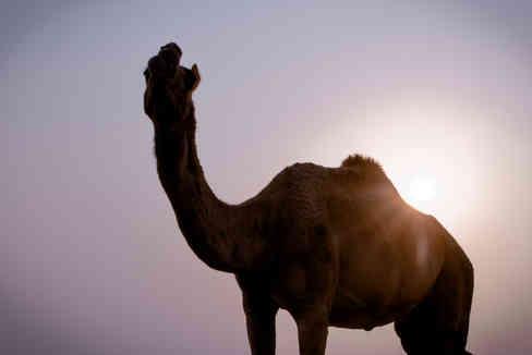 camel with sunshine