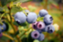 blueberry_edited.jpg