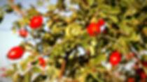 rosehip_edited.jpg