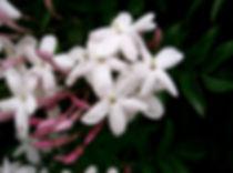 Jasminum_polyanthum2.jpg