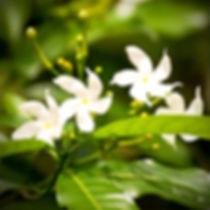 star-jasmine-p216-4293_image_edited.jpg