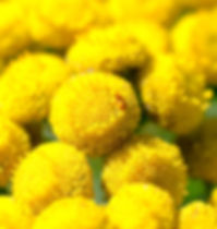 Tansy-blue-essential-oil.jpg