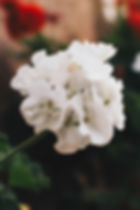 Canva - Close-up Photo Of White Geranium