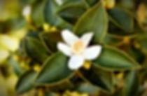 camellia_edited.jpg