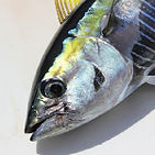 yellowfin-tuna-altamar.jpg