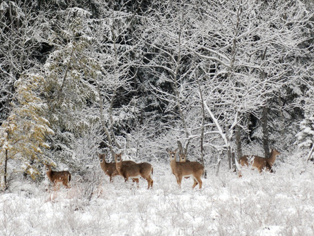 White Tailed Deer and the Balance of Nature