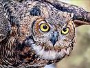 A Great Horned Owl : Glen Helen Raptor Center