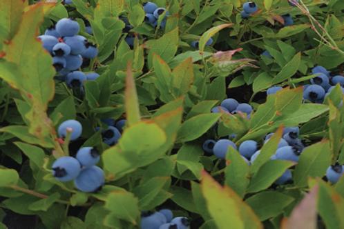 Wild Blueberries 5lbs