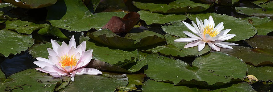 water-lily-2488847_960_720.jpg