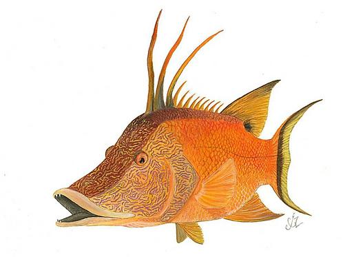 Hogfish Print