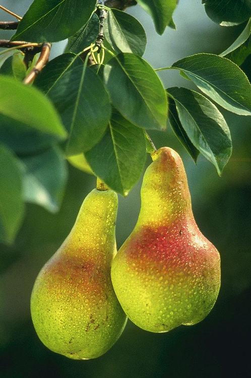 Organic Pears - 500g