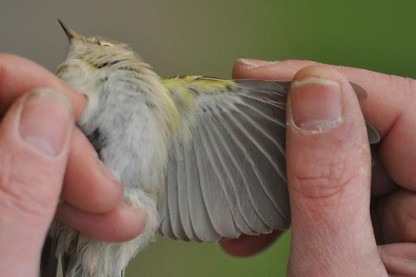 tristis VvdS 28102012 bird 1 nr 3.jpg