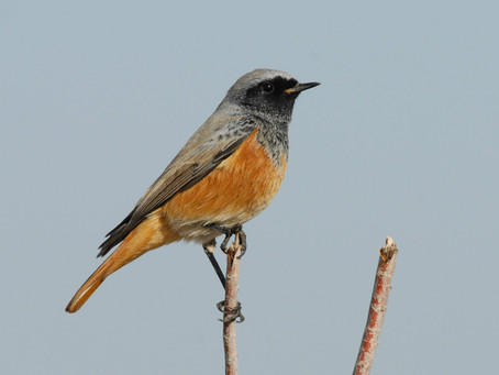 Redstart headaches: moult & primary spacing