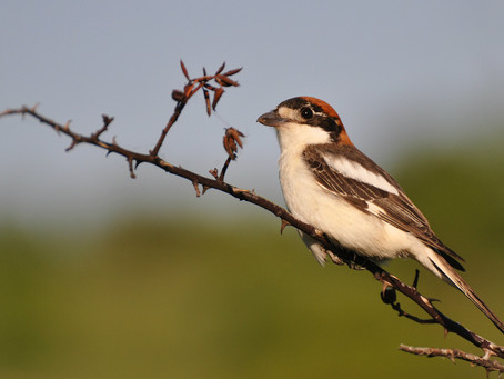 senator in disguise: thoughts on Balearic Shrike