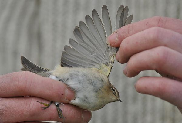 tristis VvdS 28102012 bird 2 nr 2.jpg