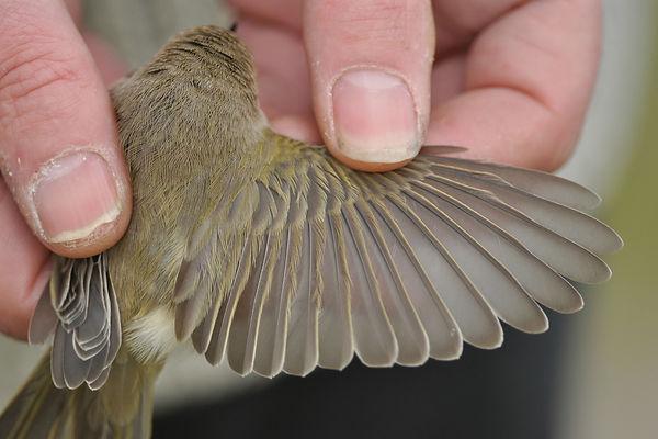 tristis VvdS 28102012 bird 1 nr 4.jpg