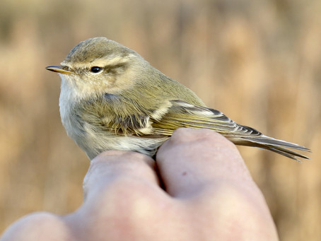 Hume's Leaf Warbler: my bird of the autumn