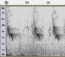 hybride huismus x ringmus sona1.jpg