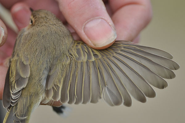tristis VvdS 28102012 bird 2 nr 3.jpg
