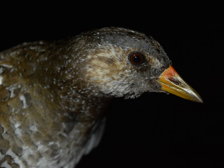 Ageing spotted crakes