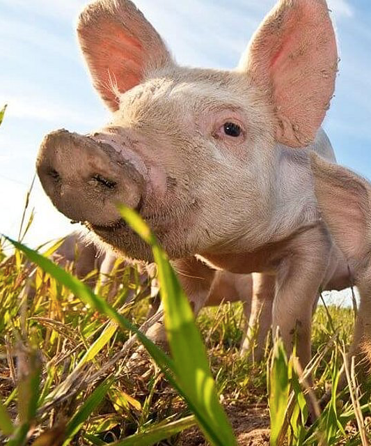 wake up to piggy Peggy and other animals on a farmland