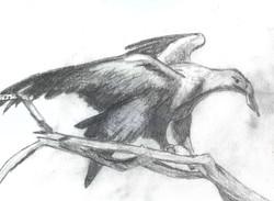 Jessica Brauman- Wedge-Tailed Eagle