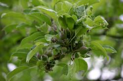 Pommes à Cidre en juillet