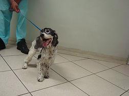 Tratamento de otite canina - Clinical Pets - São Caetano do Sul - SP