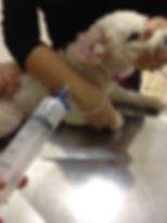 Aplicação de terapia com ozonio. Dr Roberto Siqueira - Clinical Pets