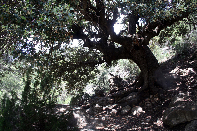 Encina monumental en Moratalla