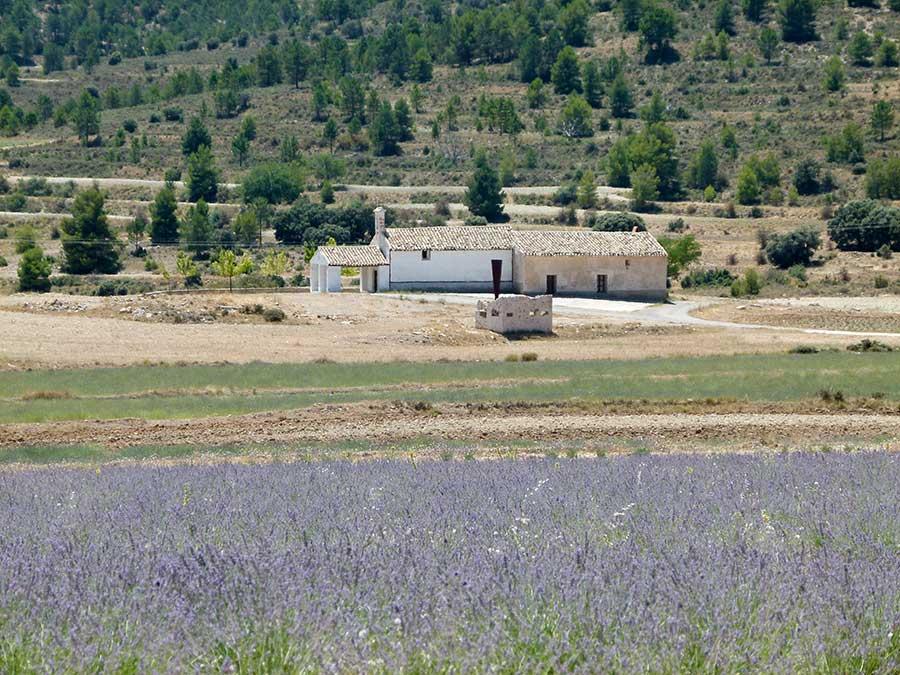 Campos de espliego en Béjar, Moratalla,