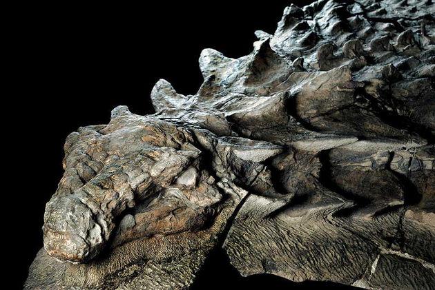 Fósil-de-Nodosaurio-110-mills.-de-años.j