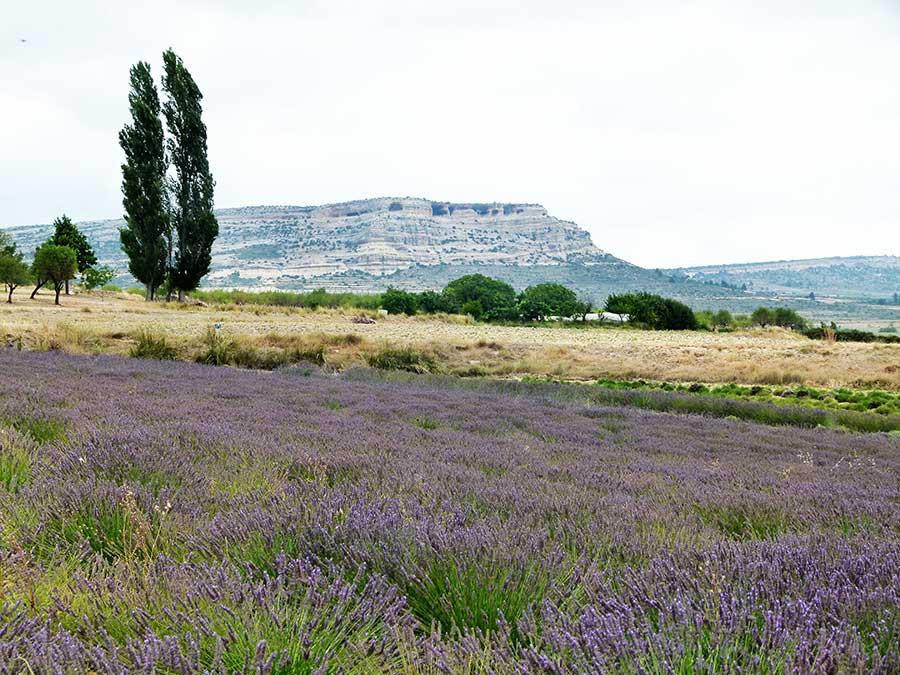 Floración plantas aromáticas en Moratall