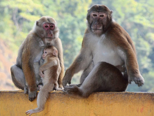 Nepal's Assam Macaque Is Its Own Beast