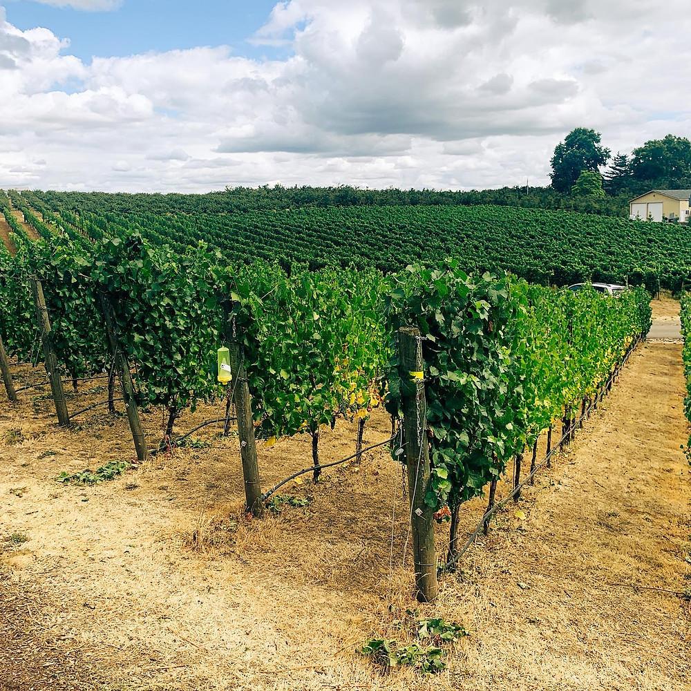 Adelsheim Winery Calkins Lane Grapes